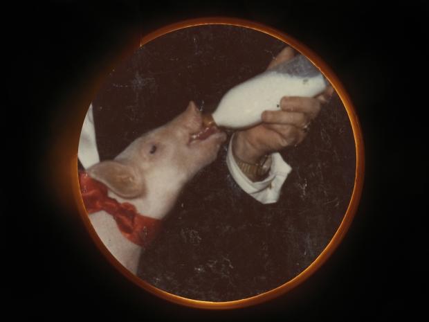 Michel Campeau, La collection des amoureux du petit cochon (2011)